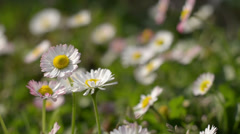 White flowers on a field Stock Footage