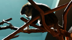 family of monkeys in a zoo - stock footage