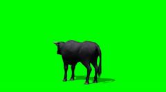 Black bull graze - green screen Stock Footage