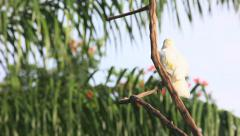 The Sulphur-crested Cockatoo. Stock Footage