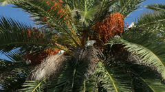 Native white parrots eating fruits in palm tree, perth, australia Stock Footage