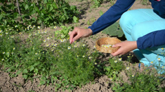 Herbalist girl pick camomile herbal flower blooms to wicker dish Stock Footage