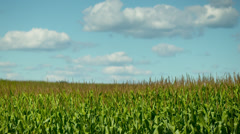 Stock Video Footage of Cornfield 02