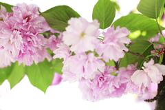 spring border or background with pink flowers blossom - stock photo