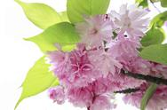 Stock Photo of spring border or background with pink flowers blossom