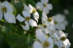 Eastern flowering dogwood or Cornus. - stock photo