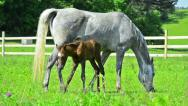Stock Video Footage of grazing arabian mare and 4 days old filly