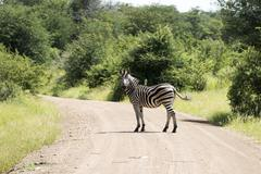 zebra in the kruger national reserve - stock photo