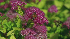 Single bee on a flower in slow motion - stock footage
