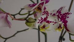 Phalaenopsis Orchid blooming time lapse speed ramp 6K Stock Footage