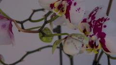 Phalaenopsis Orchid blooming time lapse 4K UHD Stock Footage