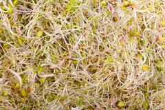 Fresh alfalfa sprouts isolated on white background Stock Photos