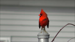 Cardinal bird takes off, slow motion Stock Footage