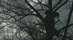 Arborist lumberjack in tree in silhouette using ropes Stock Footage