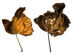 Dead leaves illuminated from behind Stock Photos