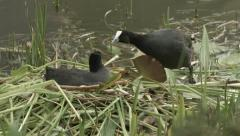 Coot birds sitting and building nest together - stock footage