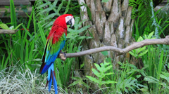 Red and Green winged wings Macaw macaws parrot exotica tropical bird, Ara Stock Footage