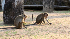Toque Macaque monkeys grazing in temple grounds Stock Footage
