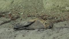 Sea Lion Pup on beach taking a nap #3. Stock Footage