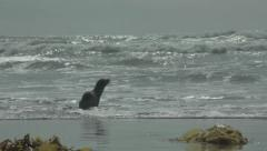 Sea Lion pup running on beach toward the ocean. Entering the water. - stock footage