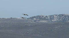 Sandhill Cranes In Flight Stock Footage