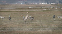 Sandhill Cranes In a Field Stock Footage