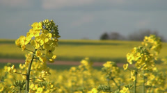 Yellow rape blossoms in the wind 01 Stock Footage