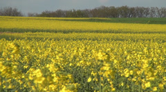 Yellow rape blossoms in the wind 03 Stock Footage