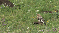 Hoopoe hunting insects near to the nest Stock Footage