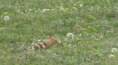 Hoopoe hunting insects in spring field, pasture Stock Footage