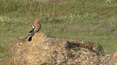 Hoopoe hunting insects perched on the rock in wild nature Stock Footage