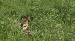 Hoopoe hunting insects in wild nature Stock Footage