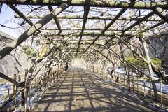 tree tunnel at hakodate. japan - stock photo