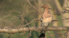 Common Hoopoe or Eurasian Hoopoe singing in the spring on top of the tree. Stock Footage