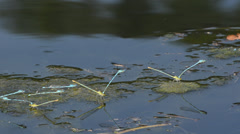 Many couples of damselfly are mating and flying on the water Stock Footage