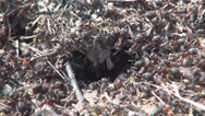 Stock Video Footage of Ants Working Gathering Food for Winter, Ant Hill, Workers Insects in Hive