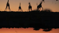 Stock Video Footage of Giraffes drinking water in waterhole
