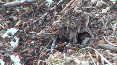 Ants Working Gathering Food for Winter, Ant Hill, Workers Insects in Hive - stock footage