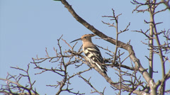 Hoopoe singing of top of the tree Stock Footage