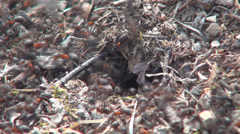 Ants Working Gathering Food for Winter, Ant Hill, Workers Insects, Timelapse - stock footage