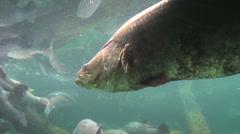 Barramundi Motionless Underwater Stock Footage