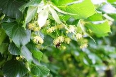 Bee pollinating flowers on linden tree - stock photo