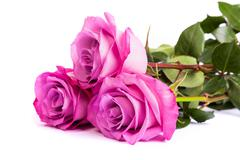 Three fresh pink roses over white background - stock photo