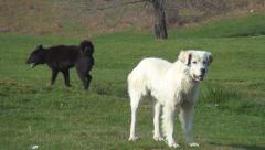 Barking Dogs Defending Sheep, Lamb in Mountains, Aggressive Animals, Shepherds - stock footage