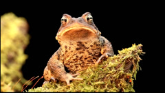 Male American Toad (Bufo americanus) - stock footage