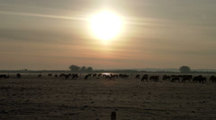 Cattle at Sunrise On a Ranch Stock Footage