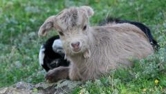 Two baby goats relaxing in the green grass Stock Footage