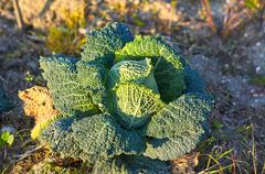 fruiting young green cabbage head - stock photo