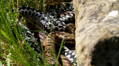 Female and Male Adder Stock Footage