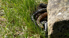 Stock Video Footage of Male and Female Adders Coiled